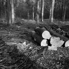After the battle (Alfred ter Wal) Tags: rolleirpx400 analog d76 film filmisnotdead 6x6 bw blackwhite monochrome mf mediumformat seagull203 tree wood forest cut forestry chopped down saw stub