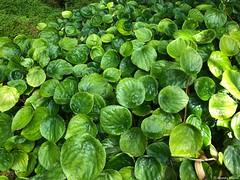 plein-de-feuilles© (alexandrarougeron) Tags: photo alexandra rougeron flickr fleurs nature plante végétal végétale ville beauté couleur frais