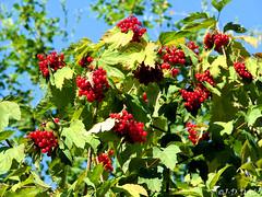 Viorne obier (Jean-Daniel David) Tags: nature réservenaturelle suisse suisseromande vaud arbre arbuste buisson baie rouge ciel cielbleu bleu vert verdure feuille feuillage bokeh yvonand