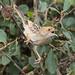 Rattling Cisticola - Nairobi NP - Kenya CD5A9665
