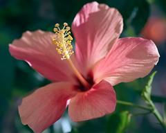 Hibiscus (rondoudou87) Tags: flower fleur hibiscus macro pentax k1 rondoudou87 jardin garden color couleur closer close colors couleurs nature natur 100mm smcpentaxdfa100mmf28macrowr light lumière