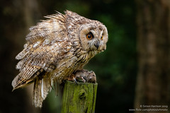 Long Eared Owl with Prey (srhphoto) Tags: 2018 birdofpreyphotographyworkshop birdsofprey camera canon canonef70200mmf4l canoneosr longearedowl owl year