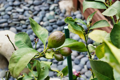 2019-02-08 - Nature Photography - Trees - Lemon Tree