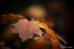 the colors of autumn (www.petje-fotografie.nl) Tags: wwwpetjefotografienl petjefotografie arnhem schaarsbergen gelderland bos herfst kleuren rood geel blad boom bomen