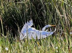 11-12-18-0041914 (Lake Worth) Tags: animal animals bird birds birdwatcher everglades southflorida feathers florida nature outdoor outdoors waterbirds wetlands wildlife wings