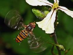 Mesmo a chegar... (Zéza Lemos) Tags: insectos insecto macro abelha abelhas flores flowers flor jardim jardins mel asas vilamoura algarve portugal florderúcula