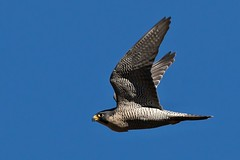 AL6I0729 (chavko) Tags: pegrine falcon sokol sťahovavý birds prey jozefchavko wildlife bird sky
