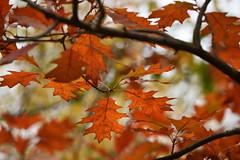 Les feuilles d'automne (Excalibur67) Tags: nikon d750 sigma globalvision contemporary 100400f563dgoshsmc automne autumn feuillage foliage nature arbres trees