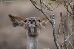 mmm....tastes good (leendert3) Tags: leonmolenaar southafrica krugernationalpark wildlife nature mammals kudu ngc npc coth5 naturethroughthelens