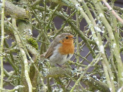 Robin in a dead tree (seikinsou) Tags: amaravati england meditation retreat retreatcentre robin tree branch preen summer midsummer