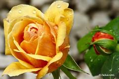 Looking close... on Friday! | Droplets in Flora (Jehanmi) Tags: canon rose jaune bokeh closeups macrocloseups macrophotography macroshots macro fleurs flowers flora dropletsinflora lookingcloseonfriday
