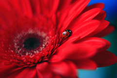 Gerbera ❤️ (ElenAndreeva) Tags: daisy gerbera pollen flower head shasta delicate petal flora bug insect ladybug red blue close up nature natural light macro magic amazing love beauty best bright sun summer colors garden andreeva