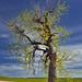 A Lone Tree at Conata Basin Overlook (Badlands National Park)