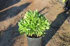 Aeonium arborescens 5g -bg