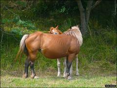 Horses in Spain2012-ZE_0251 (Zachi Evenor) Tags: zachievenor spain horse horses equus equuscaballus equusferuscaballus equusferus caballus stead stallion nature 2012 ספרד סוס סוסים סוסהבית סוסרמכי טבע אחו