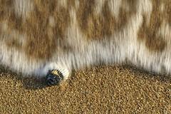 Risacca (luporosso) Tags: natura nature naturaleza naturalmente nikon nikond500 nikonitalia mare sea conchiglia seashell sabbia sand
