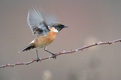stonechat (leonardo manetti) Tags: uccello bird nature red winter colours naturephotography field natural nikkor countryside green morning black stonechat sunset d850 macro albero cielo nikon