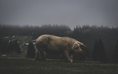 Countryside moments (Pan.Ioan) Tags: animal domestic pig mammal nature outdoors field grass rural countryside day