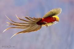 Golden pheasant (Chrysolophus pictus) ♂  红腹锦鸡 hóng fù jǐn jī (China (Jiangsu Taizhou)) Tags: nikon d5 600mm f4 vr afsnikkor600mmf4gedvr birds china birdsofchina henan 河南平顶山市泉水湾 hénánpíngdǐngshānshìquánshuǐwān wildlife birding largebird pheasant goldenpheasant chrysolophuspictus 红腹锦鸡 hóngfùjǐnjī ngc nationalgeographic birdwatching birdwatcher