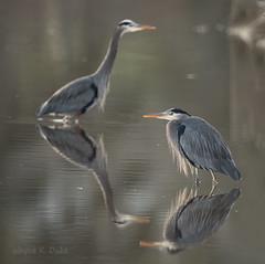 ND5_9077 Marsh Pair (Wayne Duke 76) Tags: herons marsh water wading