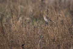 Twite (Matt Hazleton) Tags: twite linariaflavirostris bird wildlife nature animal outdoor canon canoneos7dmk2 canon100400mm eos 7dmk2 100400mm matthazleton matthazphoto thornham norfolk