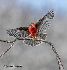 Vermilion Flycatcher  #1 (bobdinnel) Tags: flycatcher vermilionflycatcher