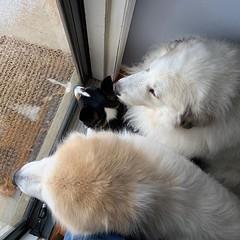 A dog is always on the wrong side of the door. #GreatPyrenees #Corgi (POOLEworks | roger) Tags: instagram ifttt littledoglaughedstories