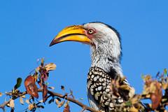 Tockus leucomelas (gastonCc) Tags: tocopiquigualdosureño southernyellowbilledhornbill tockusleucomelas parquenacionalkruger sudafrica kruger