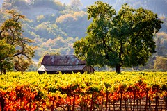 Napa Valley Autumn (amarilloladi) Tags: rust barn grapes agriculture vineyards vineyard napavalley california tmt treemendoustuesday falls autumn barns leaves 2dwf