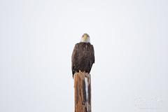 A very attentive Bald Eagle