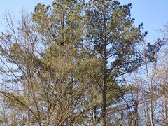 Trees And Sky. (dccradio) Tags: lumberton nc northcarolina robesoncounty outdoor outdoors outside february winter afternoon saturday saturdayafternoon goodafternoon nikon coolpix l340 bridgecamera nature natural tree trees branch branches treebranch treebranches treelimb treelimbs sky bluesky pine evergreen