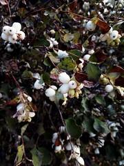 Autumn (msergeevna) Tags: nature luonto pensas shrub куст снежник autumn syksy