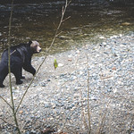 Grizzly at the river - Grizzly am Fluss thumbnail