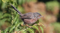 Dartford Warbler 060918 (9) (Richard Collier - Wildlife and Travel Photography) Tags: wildlife naturalhistory nature birds british britishbirds dartfordwarbler arne rspbarne dorset dorsetwildlife