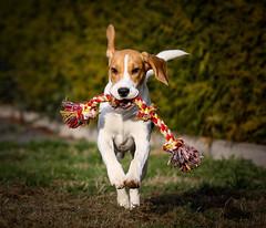 Spike (LuckyMeyer) Tags: dog pet haustier hund beagle jagdhund black brown white