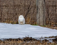 All I want for Christmas is . . . SNOW! (Dr. Farnsworth) Tags: snowy owl bird large male snowyowl snow corn field happy muskegon mi michigan fall december2018