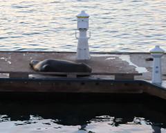 015 Fat Seal On The Dock (saschmitz_earthlink_net) Tags: 2018 california marinadelrey boat parade marinadelreyboatparade christmasparty suez