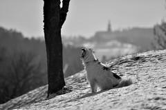 WINTER WANDERLUST (LitterART) Tags: fernweh winter schnee hund dog chien kirche church village steiermark styria austria nikond800 philetta