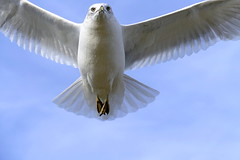 It Takes The Bread From It's Pocket (Eat With Your Eyez) Tags: seagull macro dreams close up eyes wings feather beak sky bird avian lake erie cleveland ohio winter fly flying wingspan panasonic fz1000