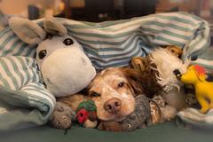 Cuddly toys (colorgraVie) Tags: bokeh bretone englischersetter hund nikond7200 nikonlensseriese28mm128 pointer tier brittany englishsetter animal dog cuddlytoys kuscheltier altglas vintagelens