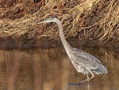 Young Great Blue Heron (Lynn Tweedie) Tags: loessbluffsconservationarea missouri beak feathers 7dmarkii tail sigma150600mmf563dgoshsm wing canon eye eos bird ngc animal
