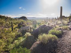 Flat Lands (RoamingTogether) Tags: angiosperms arizona cactaceae cactus carnegieagigantea caryophyllales catmountain eudicotidae eudicots eudicotyledons floweringplants hiking panasonic panasonic1442powerois panasoniclumixdmcgf3 saguaro saguarocactus tucson tucsonmountainpark
