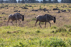 "Wildebeest - The ""Spare Parts"" Animal (Jill Clardy) Tags: africa kenya vantagetravel safari 201902179l8a7458 wildebeest spareparts mammal animal amboseli national park"