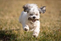 Happiness is not getting what you want, it's wanting what you have... (•tlc•photography•) Tags: charlie yard stick running pet puppy 6months canine dog teddybear zuchon fetch keepaway