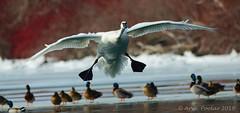 Trumpeter Swan (Arvo Poolar) Tags: outdoors ontario canada arvopoolar toronto bird naturallight nature natural nikond7000 naturephotography trumpeterswan inflight wings winter