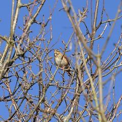 Redwing (MJ Harbey) Tags: bird redwing tree branches turdusiliacus animalia aves passeriformes turdidae miltonkeynes buckinghamshire nikon d3300 nikond3300