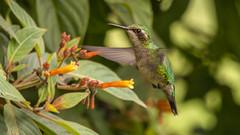 Western Emerald hummingbird (F) in my garden (PriscillaBurcher) Tags: trochilidae chlorostilbonmelanorhynchus esmeraldacoliazul esmeraldadecolaazul westernemerald esmeraldaoccidental émeraudedesandesoccidentales émeraudeorvert hummingbirdsfromcolombia colibríesdecolombia laceja colombia priscillaburcher dsc7003
