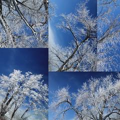 day 39 (Randomographer) Tags: project365 tree chorus trees panels sky blue deep beautiful ice white indigo frozen frost february five winter 39 365 2019 nature organic