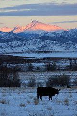 The sun is rising (Let Ideas Compete) Tags: cow cattle angus blackangus farm farming snow mtmeeker mountmeeker longspeak sunrise dawn morning earlymorning silhouette pasture snowfall winter novembersnow rockymountains coloradosunrise cold coldweather sky clouds landscape morningmood sensualsunrise shadow shadows amanecer