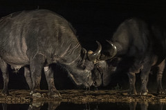 Buffalo at night - Zimanga - South-Africa (wietsej) Tags: buffalo night zimanga southafrica sony rx10m4 rx10iv animal africa safari